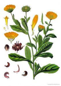 calendula-ringelblume