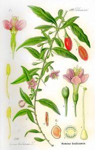 goji-bocksdorn-teufelszwirn-pflanze-und-beeren
