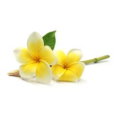 naturkosmetik-mit-frangipani-extrakt